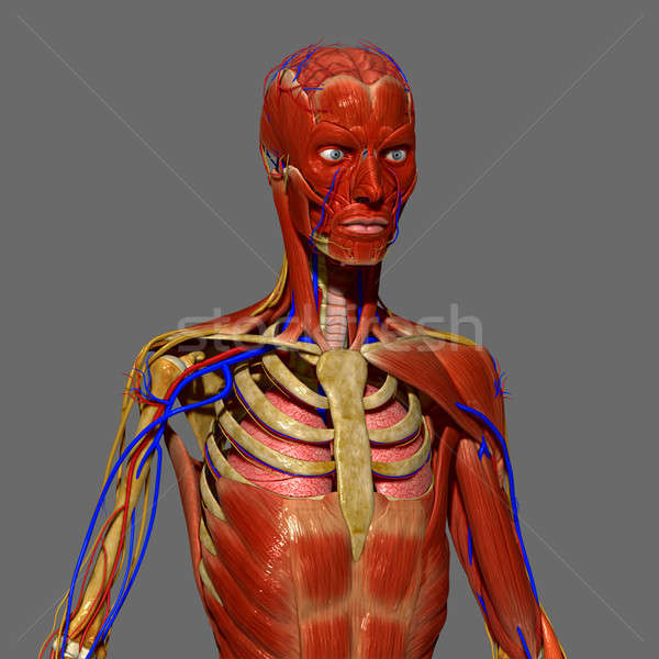 Emberi anatómia emberi test struktúra fej nyak Stock fotó © 7activestudio