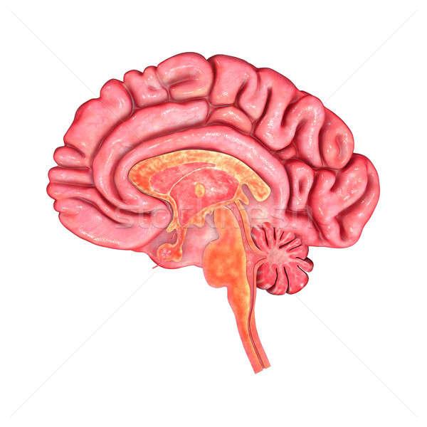 основной человека нервная система голову Сток-фото © 7activestudio