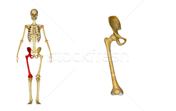 Hip with femur Stock photo © 7activestudio