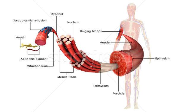 Izom anatómia puha papírzsebkendő állatok fehérje Stock fotó © 7activestudio