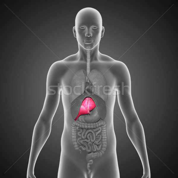 Liver Stock photo © 7activestudio