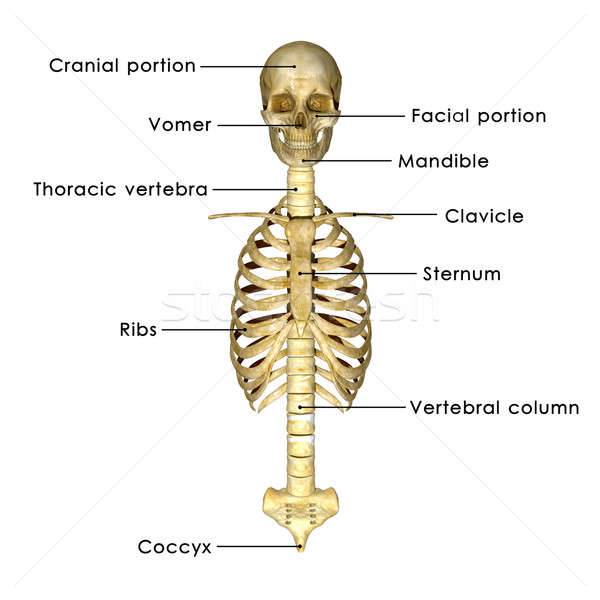 Skull with rib cage Stock photo © 7activestudio