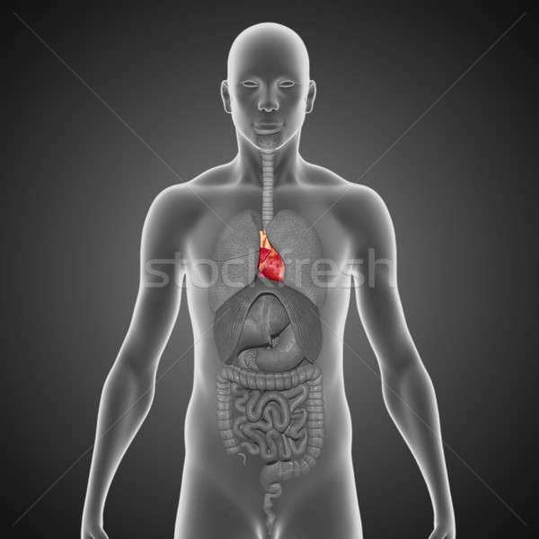 Szív izmos orgona egyéb állatok vér Stock fotó © 7activestudio