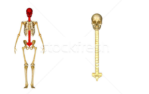 Skull with back bone Stock photo © 7activestudio