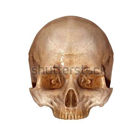 Menselijke schedel structuur hoofd skelet gezicht Stockfoto © 7activestudio
