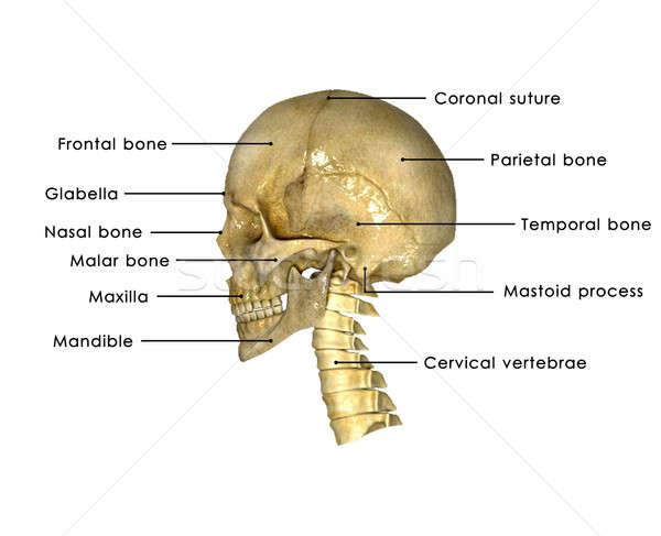 Stockfoto: Menselijke · schedel · structuur · hoofd · skelet · gezicht