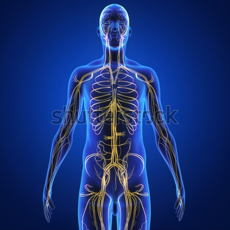 nervous system Stock photo © 7activestudio