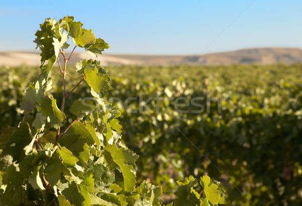 винограда листьев виноградник время продовольствие Сток-фото © ABBPhoto
