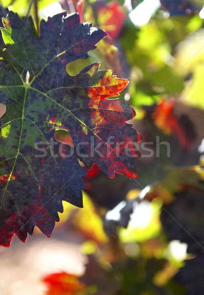 ブドウ 葉 選択フォーカス カラフル 垂直 ストックフォト © ABBPhoto