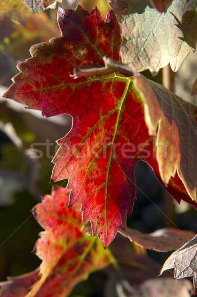 винограда листьев избирательный подход красочный вертикальный Сток-фото © ABBPhoto