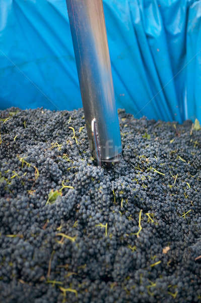 Grapes quality control Stock photo © ABBPhoto