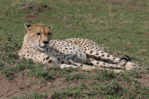 гепард трава солнечный свет тело голову Сток-фото © AchimHB