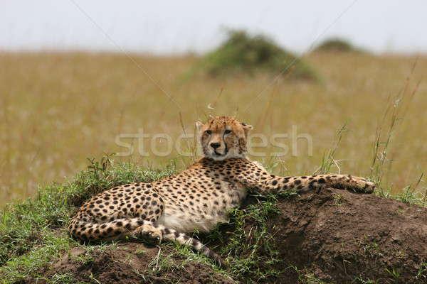 Cheetah with cub Stock photo © AchimHB