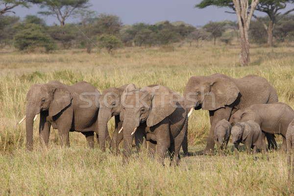 Csoport elefánt sétál Serengeti test zöld Stock fotó © AchimHB