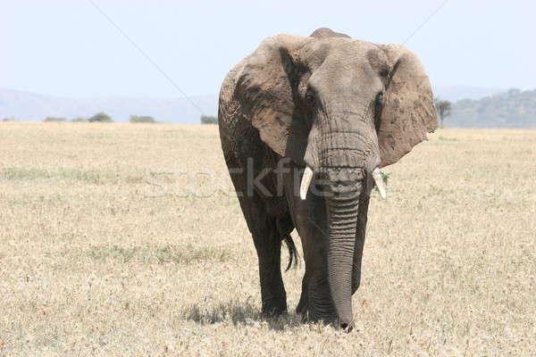 одиноко слон мужчины ходьбе высокий трава Сток-фото © AchimHB