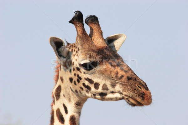 Zsiráf közelkép fej Serengeti test Stock fotó © AchimHB
