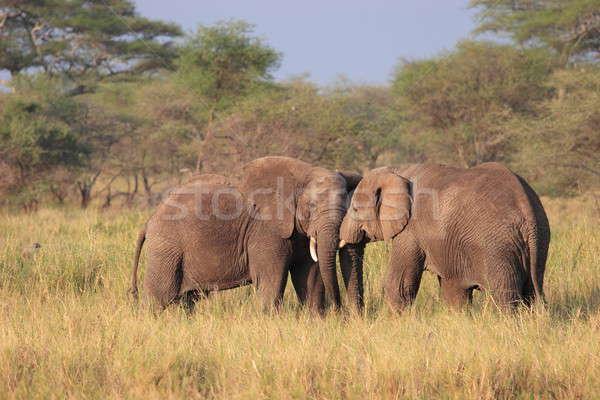 слон Серенгети зеленый группа голову Сток-фото © AchimHB