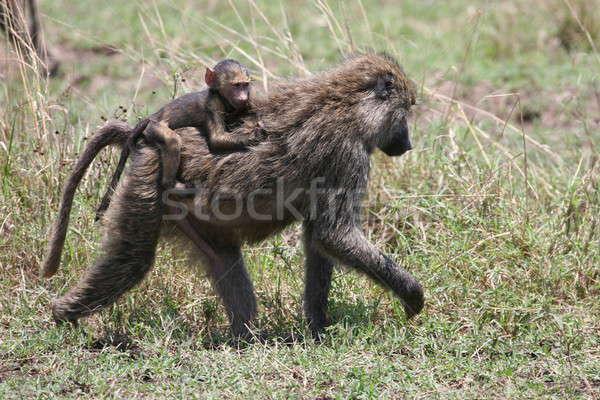 бабуин верховая езда матери тело назад Сток-фото © AchimHB