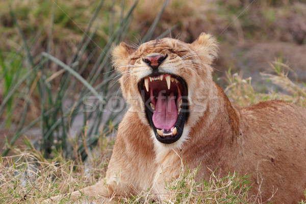 лев молодые Кения трава Сток-фото © AchimHB