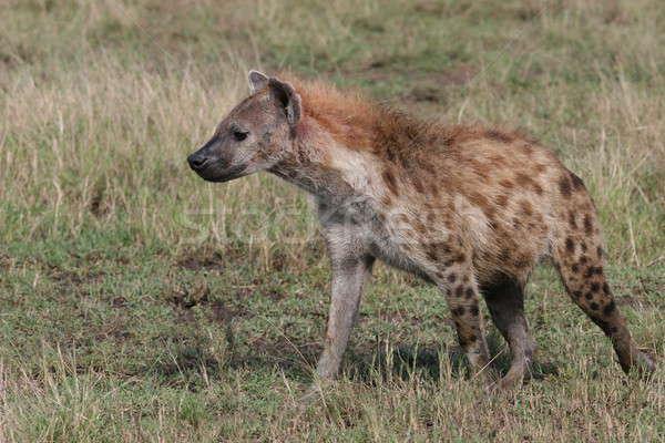 Сток-фото: гиена · ходьбе · зеленый · парка · Safari · тесные