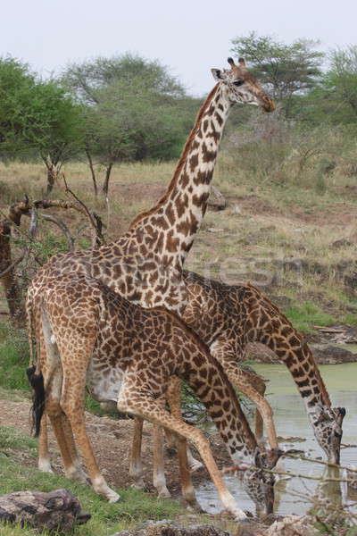 Zsiráfok három ivóvíz Serengeti park víz Stock fotó © AchimHB