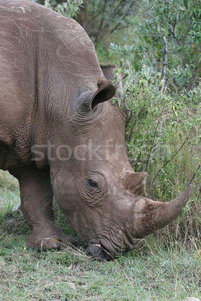 носорог ходьбе тесные зеленый голову Safari Сток-фото © AchimHB