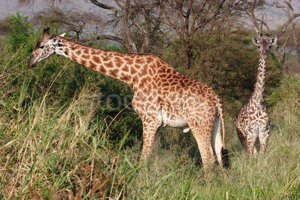 Zsiráfok magas fű Serengeti baba fák Stock fotó © AchimHB