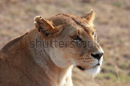 Lion head Stock photo © AchimHB