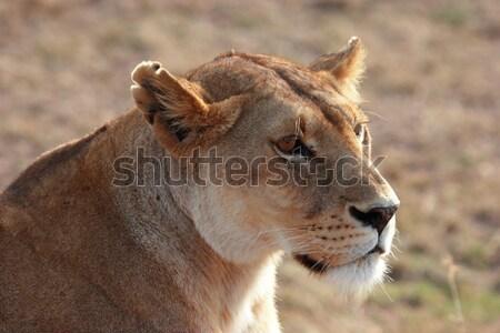 Oroszlán fej fiatal Kenya néz körül Stock fotó © AchimHB