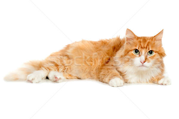 Beautiful fluffy red cat. Isolated Stock photo © acidgrey