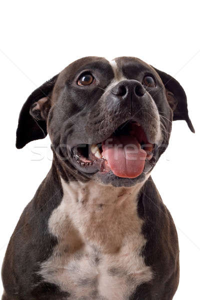 Portrait of the american staffordshire terrier. isolated Stock photo © acidgrey