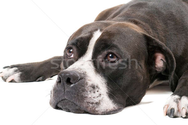 Portrait of the american staffordshire terrier. Isolated on whit Stock photo © acidgrey