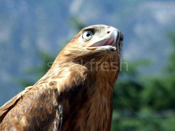 The tamed falcon on a background of Crimean mountains2 Stock photo © acidgrey