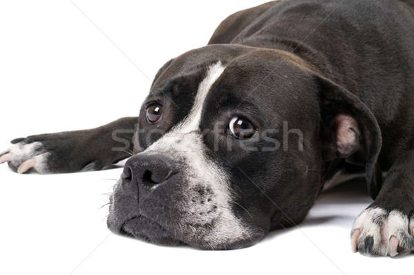 Portré staffordshire terrier izolált kutya fehér díszállat Stock fotó © acidgrey
