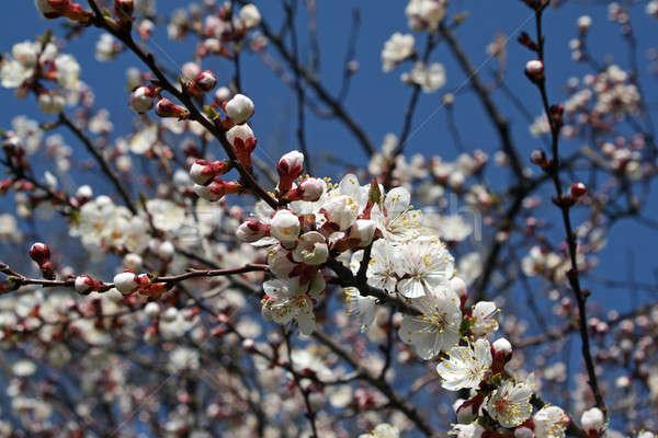Tavasz ág virágzó fa virág természet Stock fotó © acidgrey