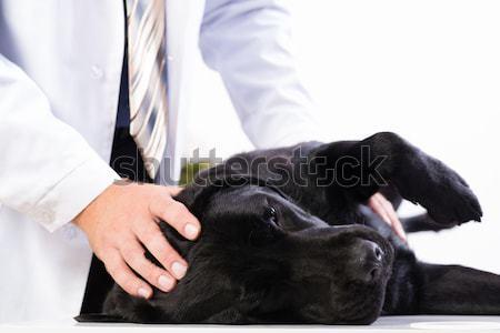 vet checks the health of a dog Stock photo © adam121