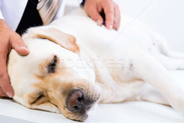 Light labrador at a reception at the vet Stock photo © adam121