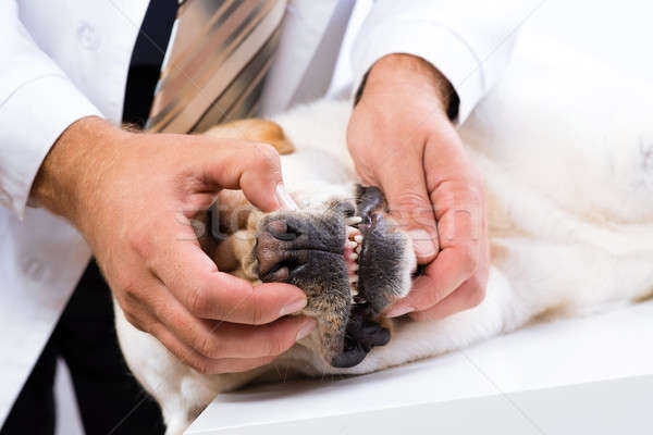 vet checks the teeth of a dog Stock photo © adam121