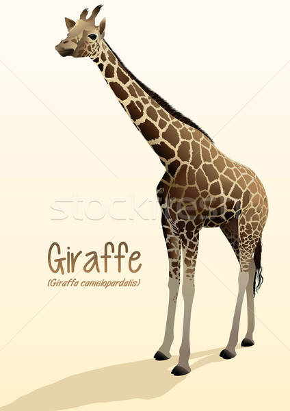 Realistic giraffe illustration standing with shadow Stock photo © adamfaheydesigns
