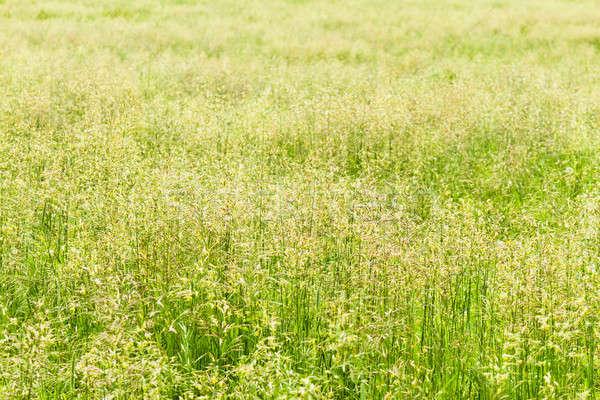 フィールド 草 美しい テクスチャ 夏 日 ストックフォト © aetb