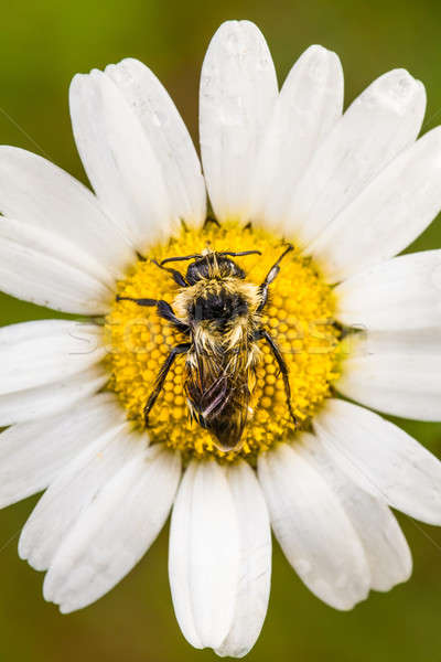 Closeup of a Bee Perfectly Centered on a Daisy Flower with water Stock photo © aetb