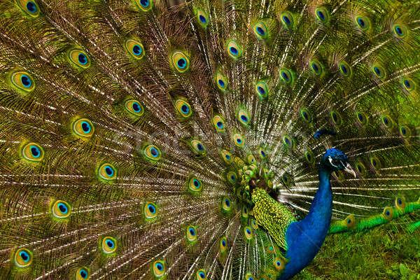 美しい 孔雀 羽毛 美 ダンス 肖像 ストックフォト © aetb