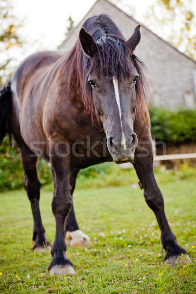 Upset horse in nature ready to charge Stock photo © aetb