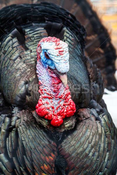 Wild Turkey Closeup Stock photo © aetb