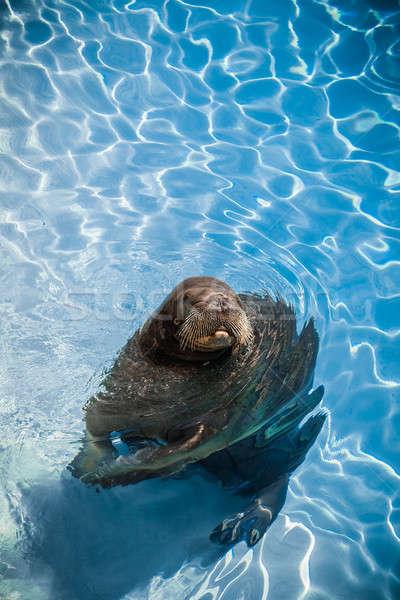 смешные морж бассейна глядя камеры комнату Сток-фото © aetb