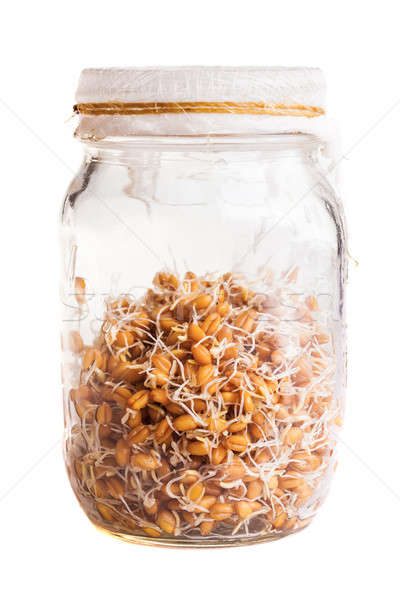 Sprouting Weat Seeds Growing in a Glass Jar Stock photo © aetb
