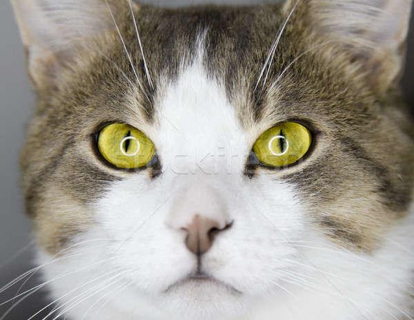 Yellow cat's eyes Stock photo © aetb