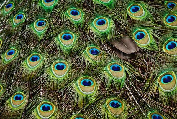 Paon beauté portrait oiseaux animaux Photo stock © aetb
