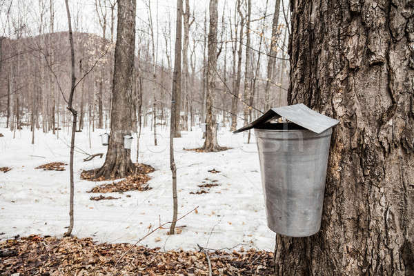 Forest of Maple Sap buckets on trees Stock photo © aetb