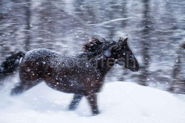 Gyors ló hóvihar természet bemozdulás mező Stock fotó © aetb
